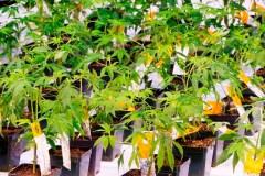 Un producteur de cannabis s'installe à Pointe-Claire