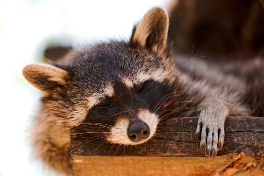 Que font les animaux du Québec à l'arrivée du froid