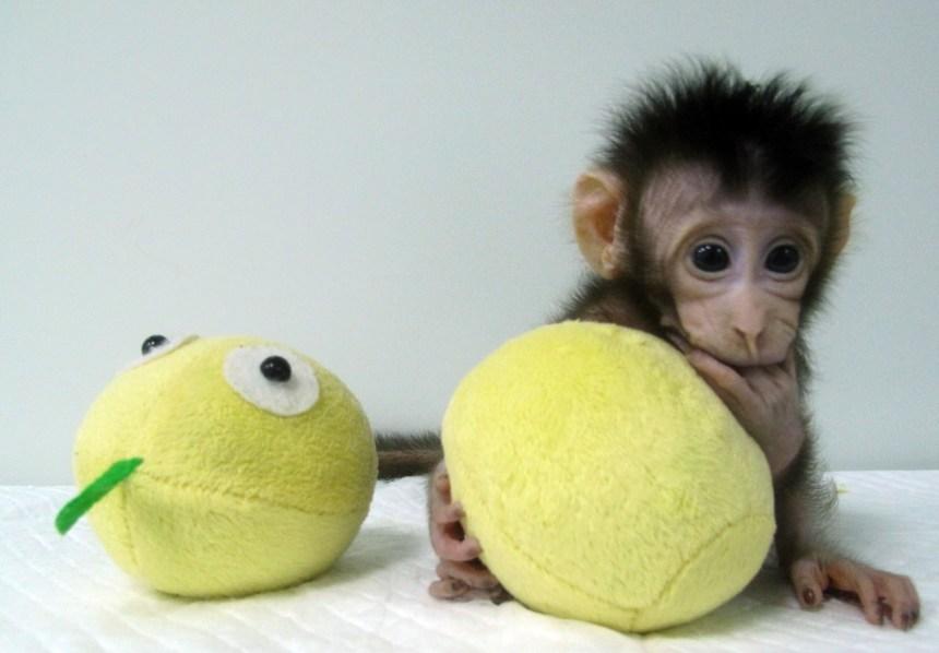 Des chercheurs ont réussi à cloner des singes
