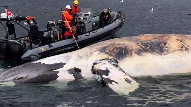 Baleines noires: la limitation de vitesse levée