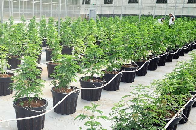 Culture de cannabis: les libéraux gardent le cap