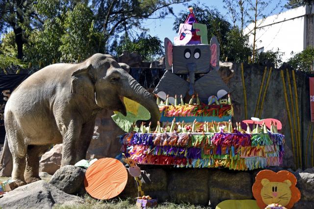 57 bougies et un gâteau géant pour Trompita, l'éléphante star du zoo de Guatemala