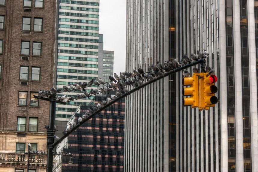 Quand la ville affecte l'évolution des animaux