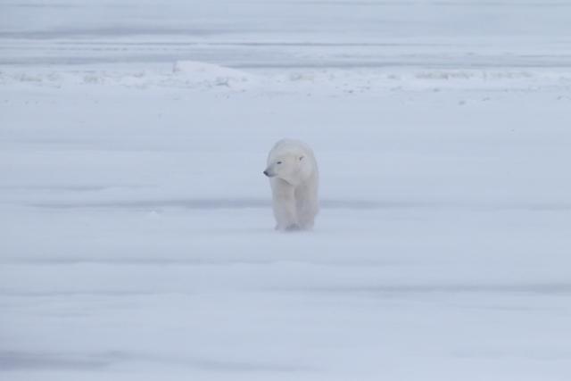 Les ours polaires ne trouvent plus assez de phoques pour se rassasier