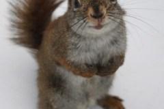 Les écureuils roux mâles tuent les petits des autres