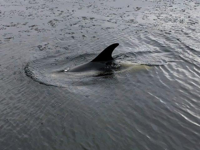 Mobilisation pour des dauphins piégés à Terre-Neuve