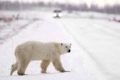 Trop d'ours polaires dans certains coins du Nunavut