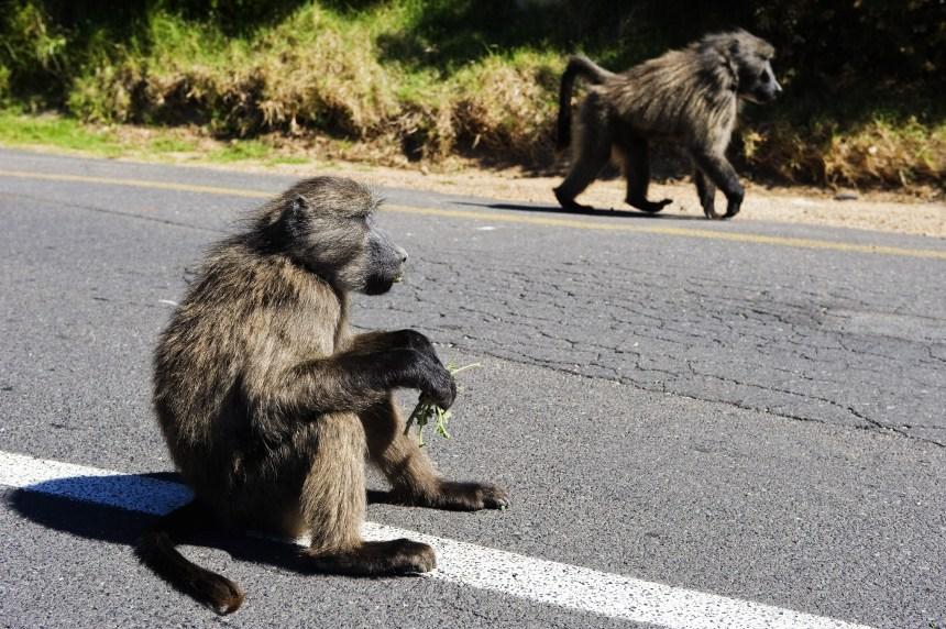 [VIDÉO] Des babouins s'échappent d'un institut de recherche