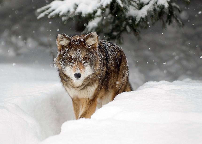 Présence de coyotes dans Hochelaga