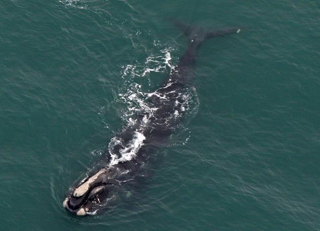12 baleines noires repérées au large du Nouveau-Brunswick