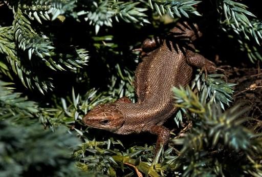 Des chercheurs ont trouvé un vieil ancêtre aux lézards et aux serpents