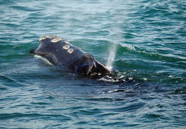 Fermeture de pêches en raison de baleines noires