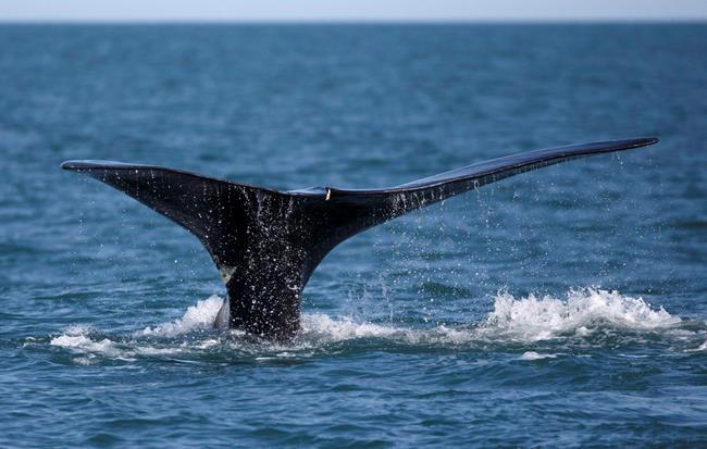 Les baleines perturbent la pêche dans le golfe