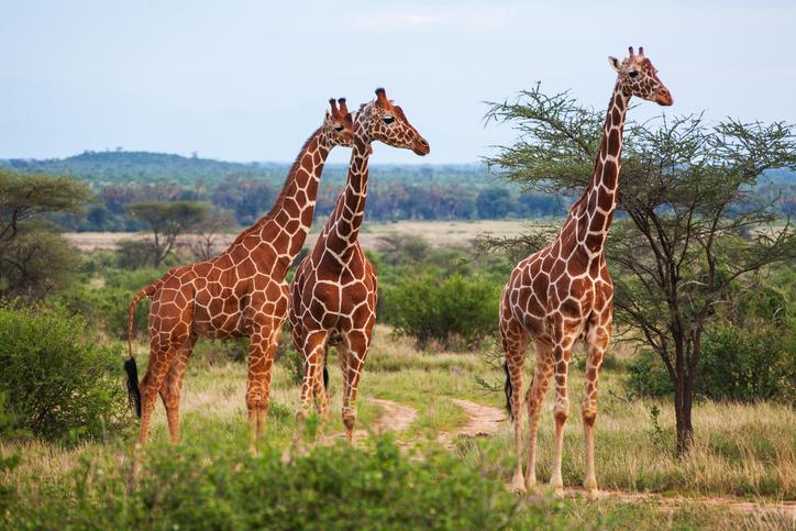 Un cinéaste sud-africain tué par une girafe