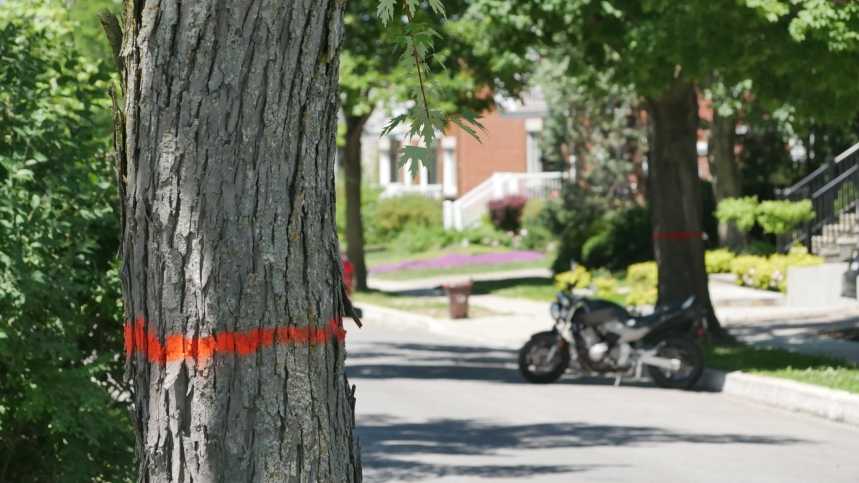 Des arbres matures coupés sur Grande-Allée
