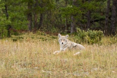 Un coyote a été abattu par le SPVM à Rivière-des-Prairies