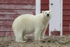 Un ours polaire visite un village de Terre-Neuve
