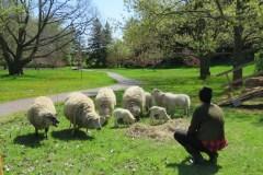 Des moutons pour entretenir le gazon au Jardin botanique
