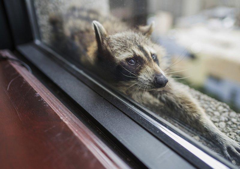 Un raton-laveur grimpe un édifice de 25 étages avant d'être capturé
