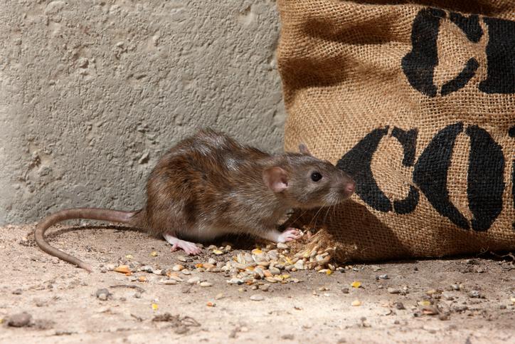 Des rats grignotent plus d'un million de roupies dans un distributeur en Inde
