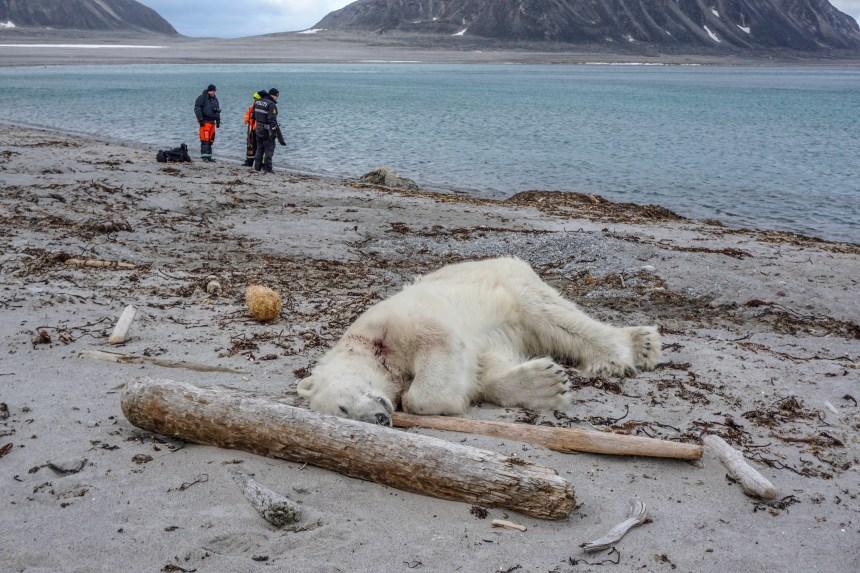 Un ours polaire abattu dans un acte «d'autodéfense»