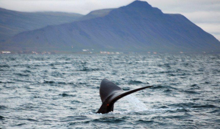 Une baleine noire aperçue en Islande