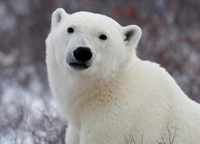 Un homme est attaqué et tué par un ours polaire