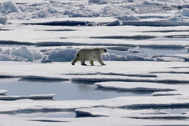 Arctique: le transport nuirait aux mammifères