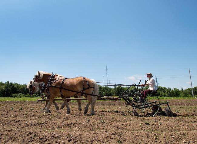 Des agriculteurs préfèrent la traction animale