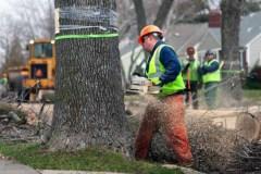 Lutte à l'agrile du frêne: les arbres maintenant traités gratuitement
