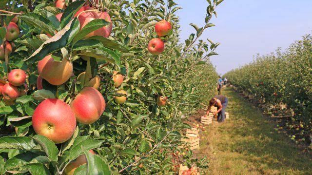 Les travailleurs saisonniers pourraient manquer dans les fermes québécoises.