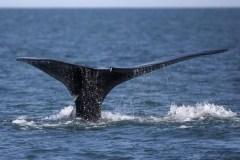 Une cinquième baleine noire a été découverte morte dans les eaux canadiennes