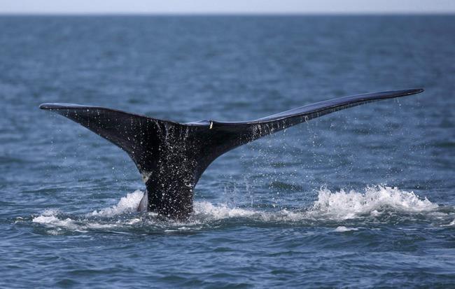 Une baleine noire libérée d'un filet de pêche au large du Nouveau-Brunswick