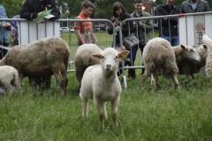 Les moutons déménagent