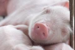 A-t-on moins envie de viande à la vue de jeunes animaux?