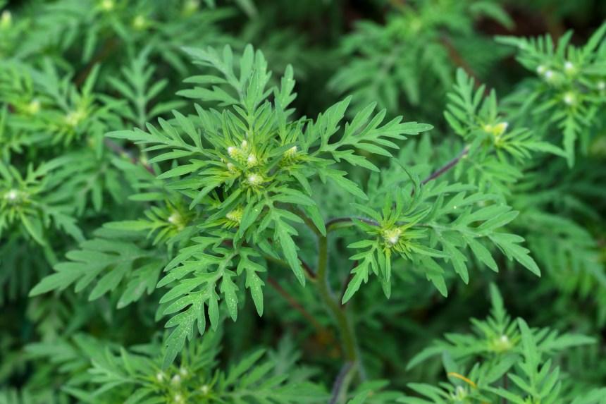 Herbe à puce ou herbe à poux?