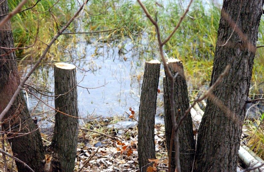 Modification du règlement sur l'abattage d'arbres à LaSalle