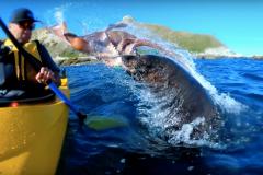 Une otarie frappe un kayakiste avec un poulpe