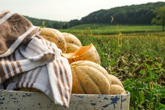 Un siècle après sa création, le melon d'Oka retrouve sa terre