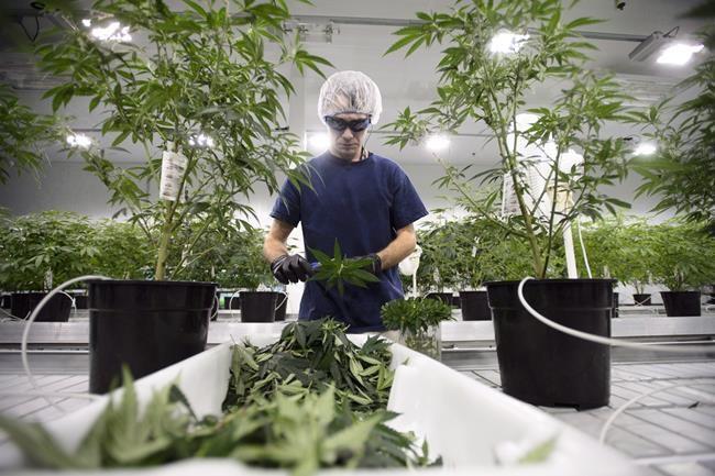 Les travailleurs du secteur du cannabis pourront finalement aller aux États-Unis