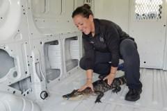 Mystère autour d'un alligator abandonné dans le lac Michigan