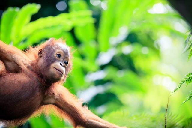 Naissance d'un bébé orang-outan au Jardin des Plantes à Paris