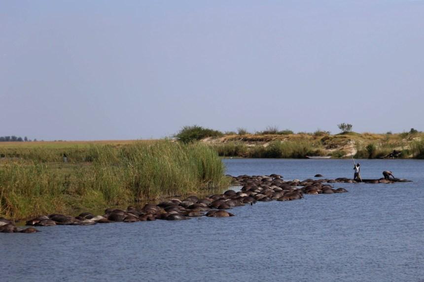 Pourchassés par des lions, 400 buffles se noient au Botswana