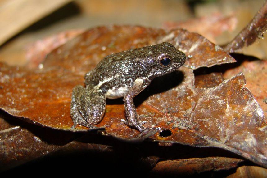 Découverte d'une nouvelle espèce de crapaud miniature au Venezuela