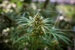 Cannabis: 39% des fumeurs au volant après un joint