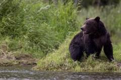 Le grizzly qui a tué une femme et son bébé au Yukon sera examiné