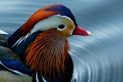 À Central Park, un canard mandarin séduit les foules