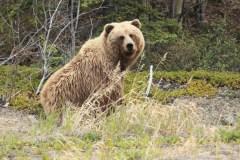 Un grizzly tue une femme et son bébé au Yukon