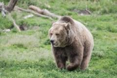 Les attaques de grizzlys sont rares, dit un expert