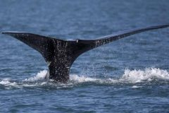 N-B: une compagnie étudie des solutions pour la coexistence pêcheurs-baleines